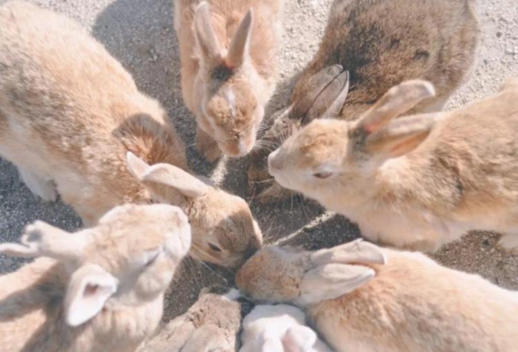 探訪日本最萌兔子島 — 大久野島Okuno-jima Island!準備萌翻吧~優呼_12.png