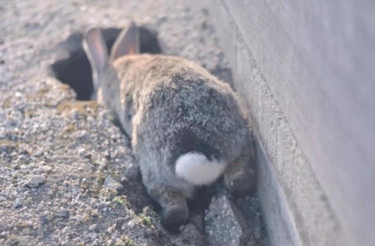探訪日本最萌兔子島 — 大久野島Okuno-jima Island!準備萌翻吧~優呼_16.png