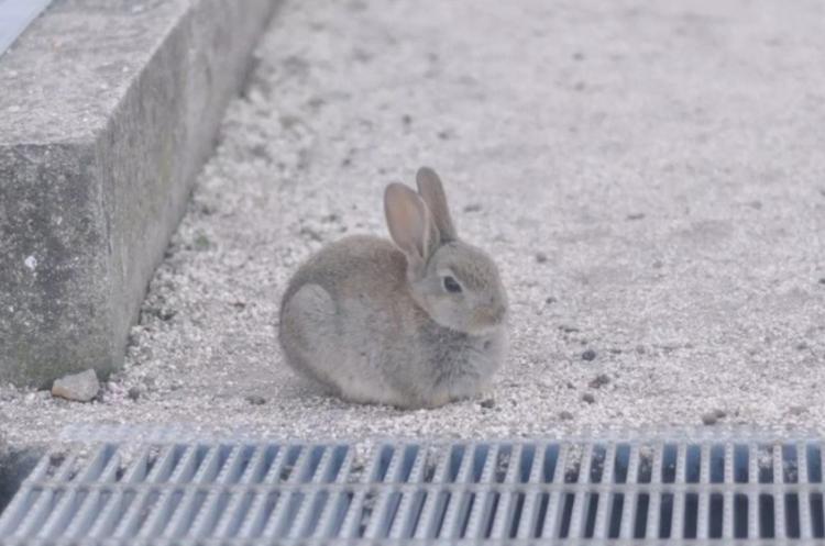 探訪日本最萌兔子島 — 大久野島Okuno-jima Island!準備萌翻吧~優呼_17.png